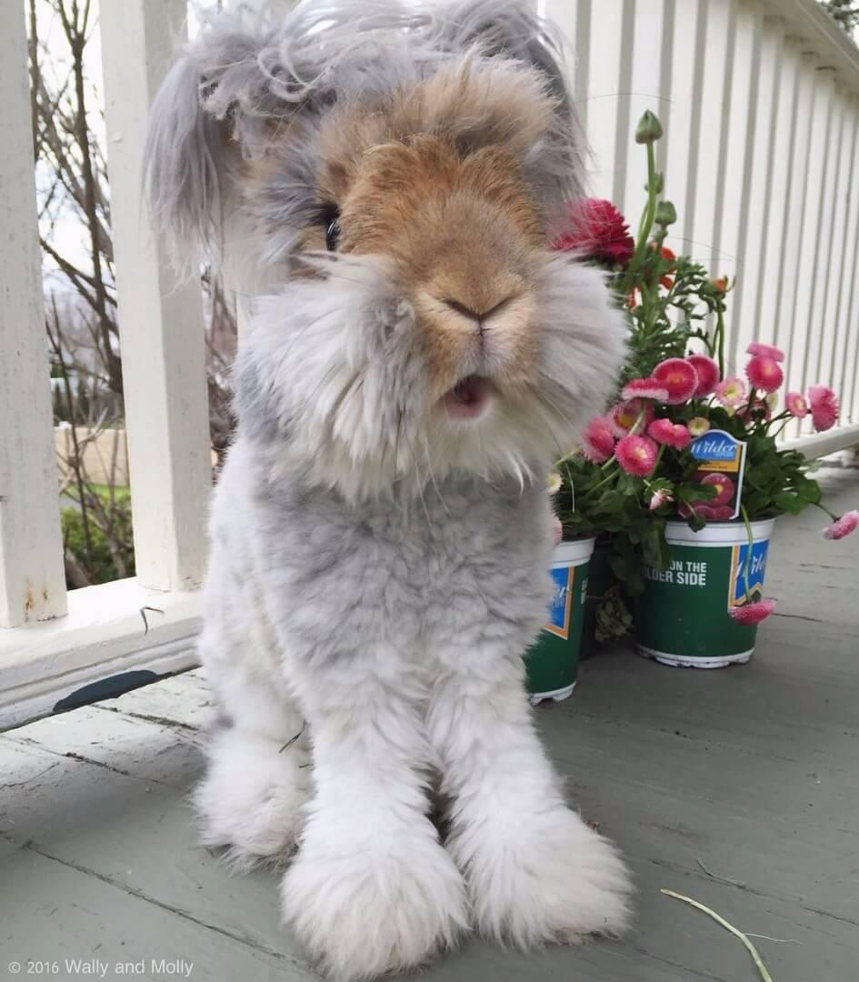 angora fluffy bunny 5 (1)