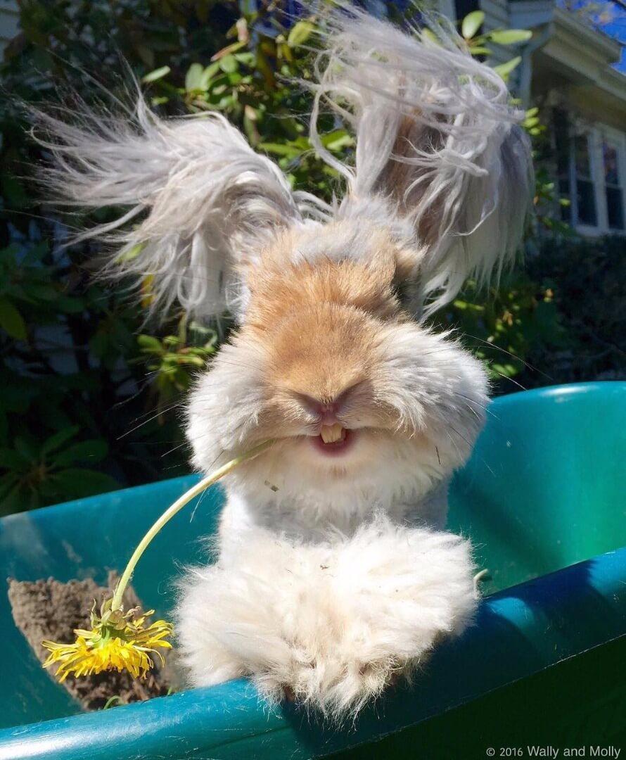 angora fluffy bunny 6 (1)