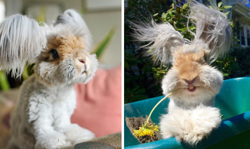 angora fluffy rabbit feat