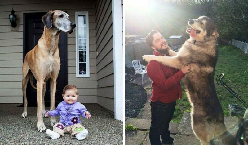 biggest dogs in the world feat