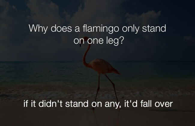 jokes - why does a flamingo only stand on one leg12