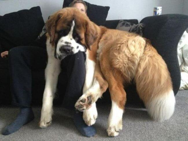 huge dogs of the world 20