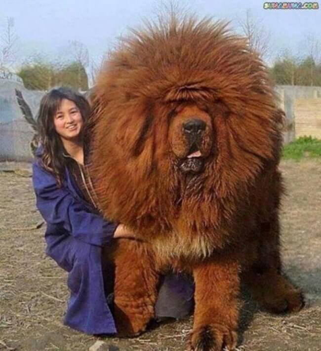 bigger dogs in the world 6