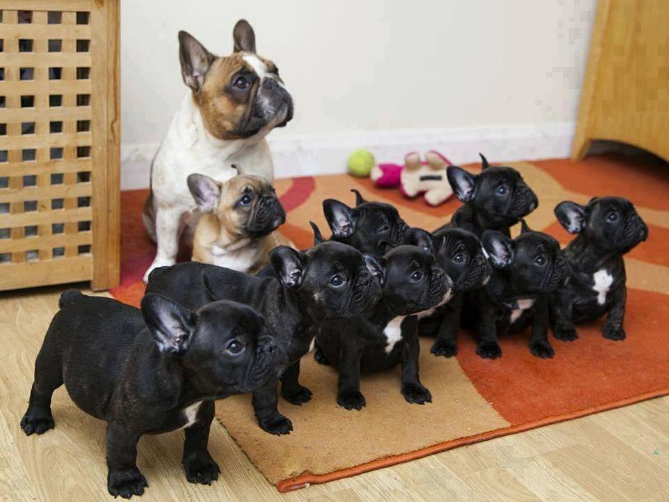 Wonderful Funny Army Adorable Dog - puppies-and-parents-4  Collection_361652  .jpg