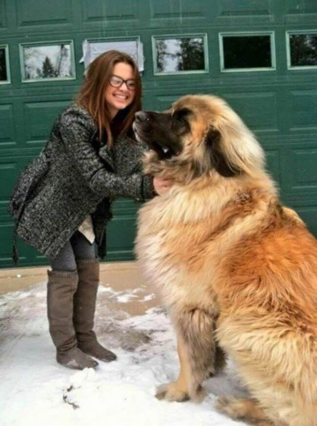 biggest dogs in the world 9