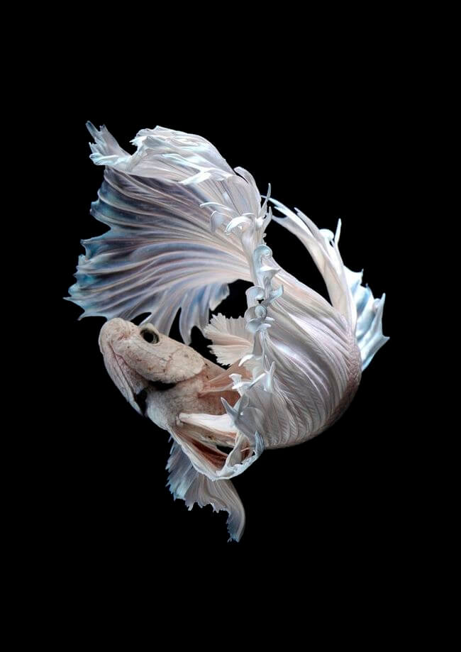 Mesmerizing Portraits Of Siamese Fighting Fish By Visarute ...
