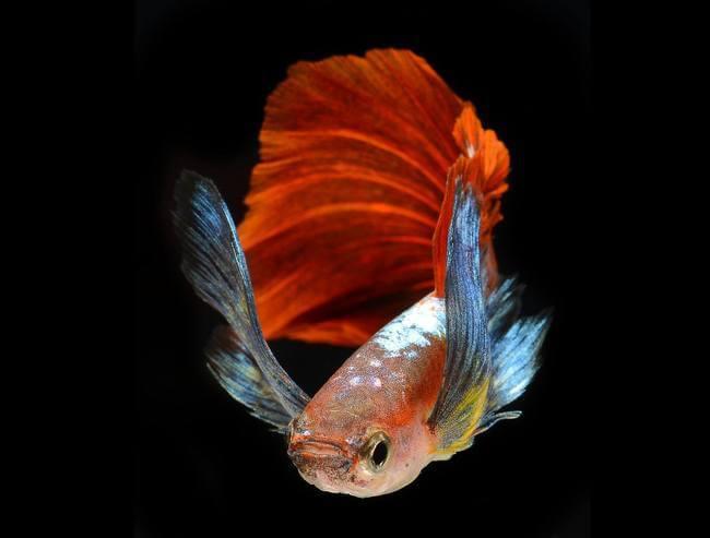 siamese fighting fish 3