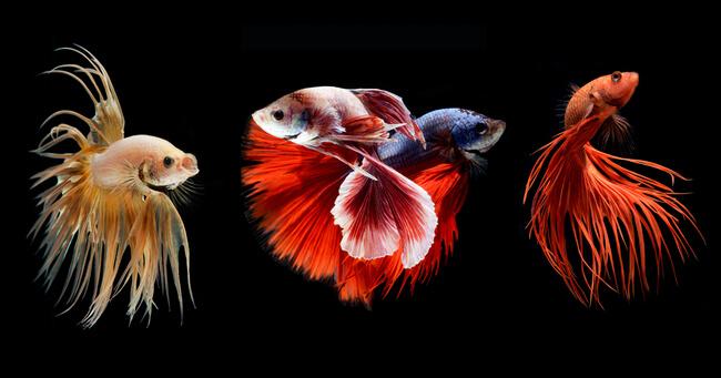 siamese fighting fish 4