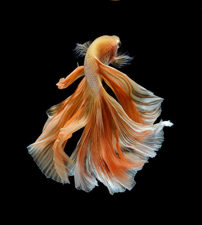 betta fish 9