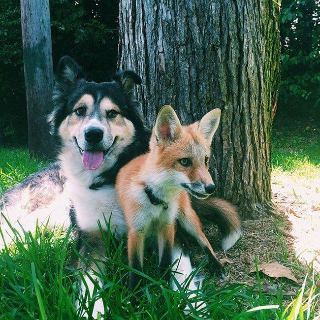 juniper the pet fox 7