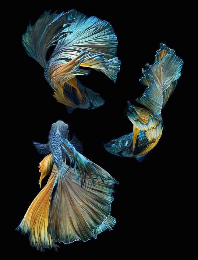 siamese fighting fish 6