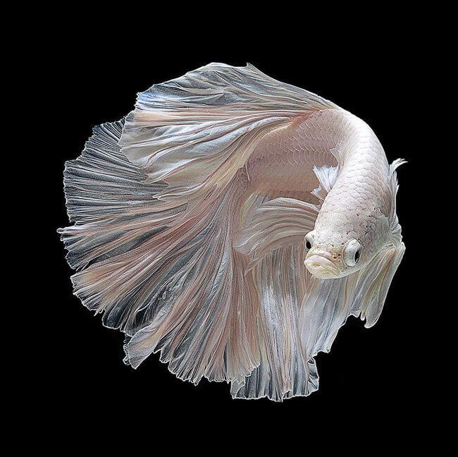 betta fish 10