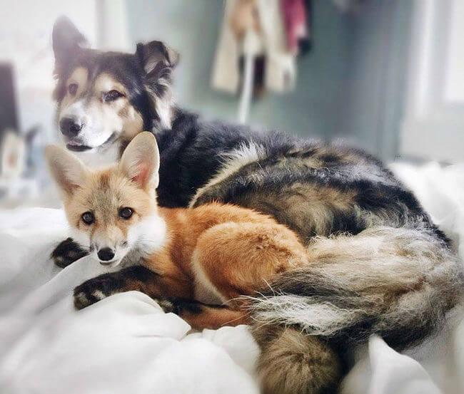 juniper the pet fox 1