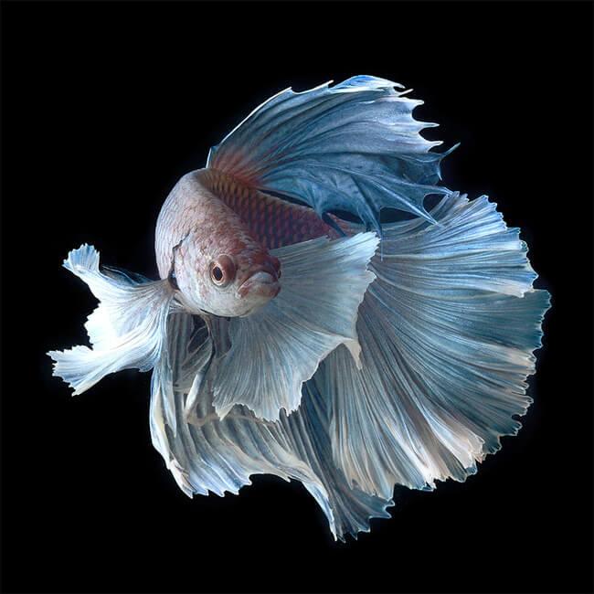 siamese fighting fish 1