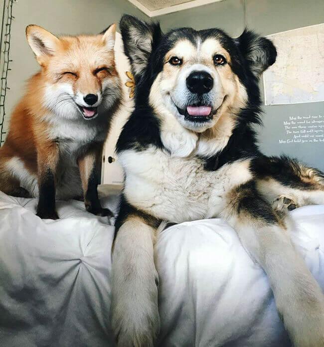 juniper the pet fox 4