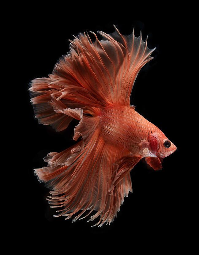 siamese fighting fish 7