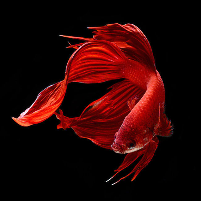 Mesmerizing portraits of siamese fighting fish by visarute for Do betta fish sleep