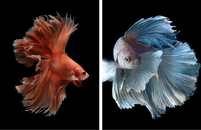 siamese fighting fish feat (1)