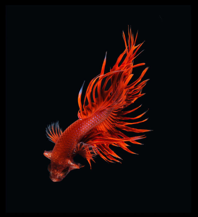 siamese fighting fish 5