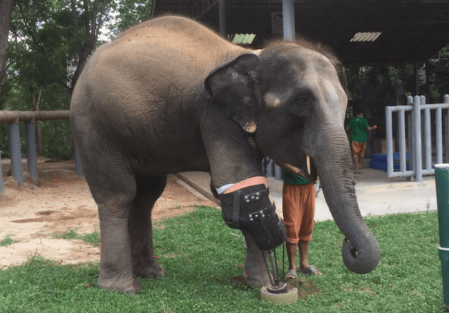 Mosha Is The First Elephant To Have a Prosthetic Leg 1