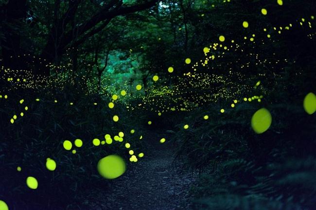 japan fireflies photos 2