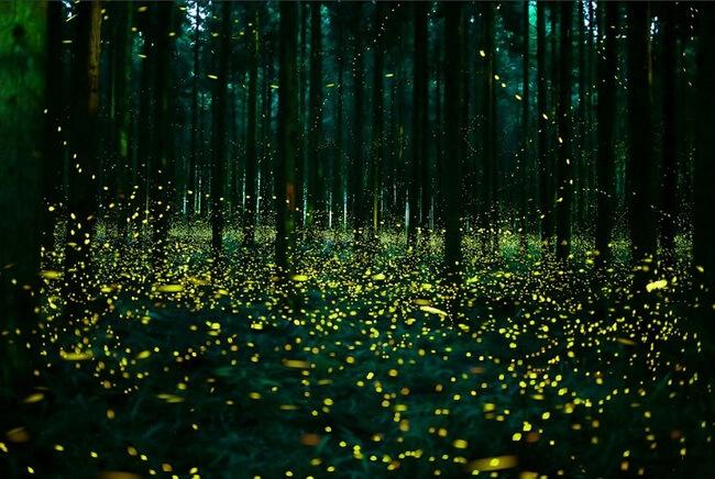 japan fireflies photos 6