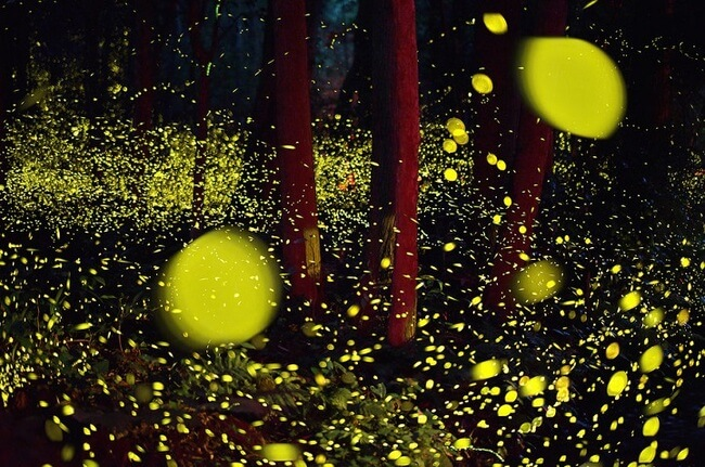 Japanese Annual Flurry Of Fireflies 8