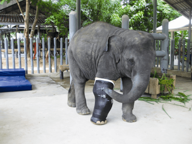 giant prosthetic leg for elephant 3
