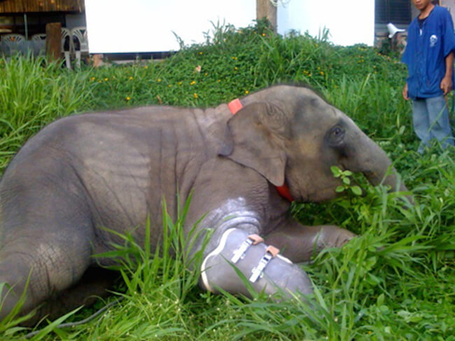 Mosha Is The First Elephant To Have a Prosthetic Leg 5