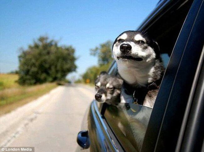 Why Dogs Love Car Rides So Much 3