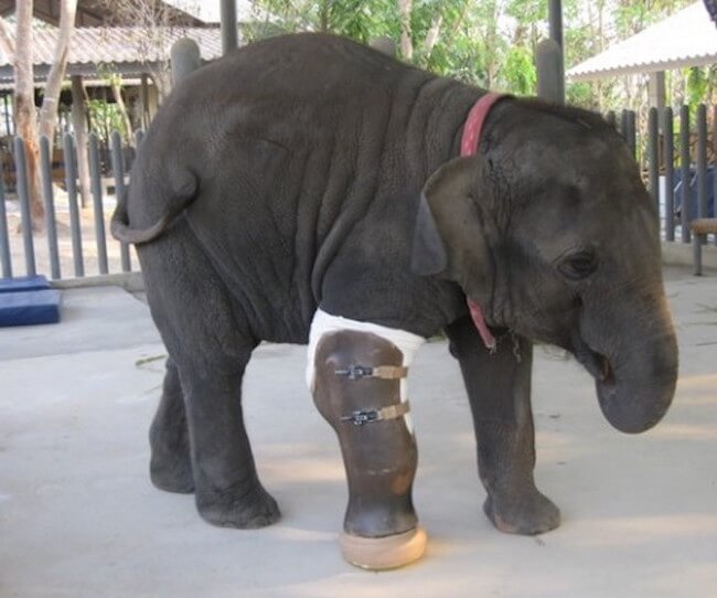 giant prosthetic leg for elephant 2