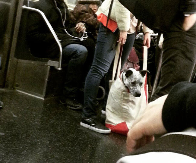 Dogs Are Not Allowed On NYC Subway 4