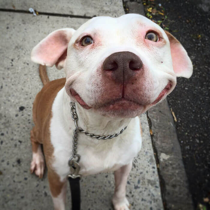 pit bull can't stop smiling (1)