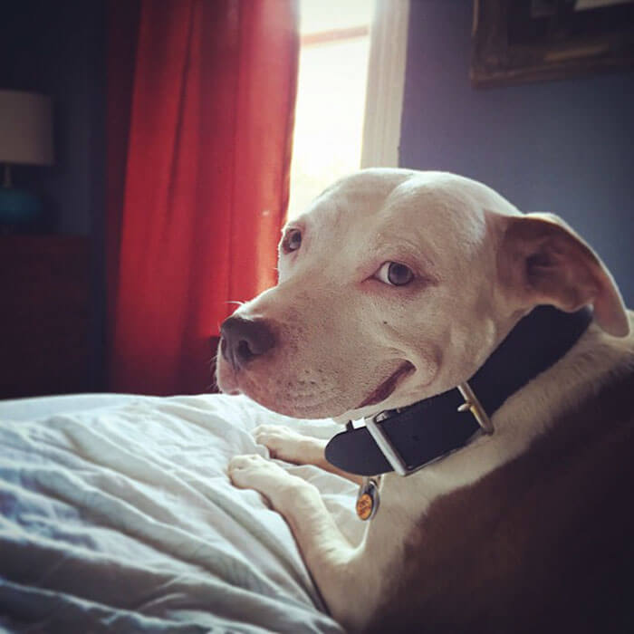 pit bull can't stop smiling 7 (1)