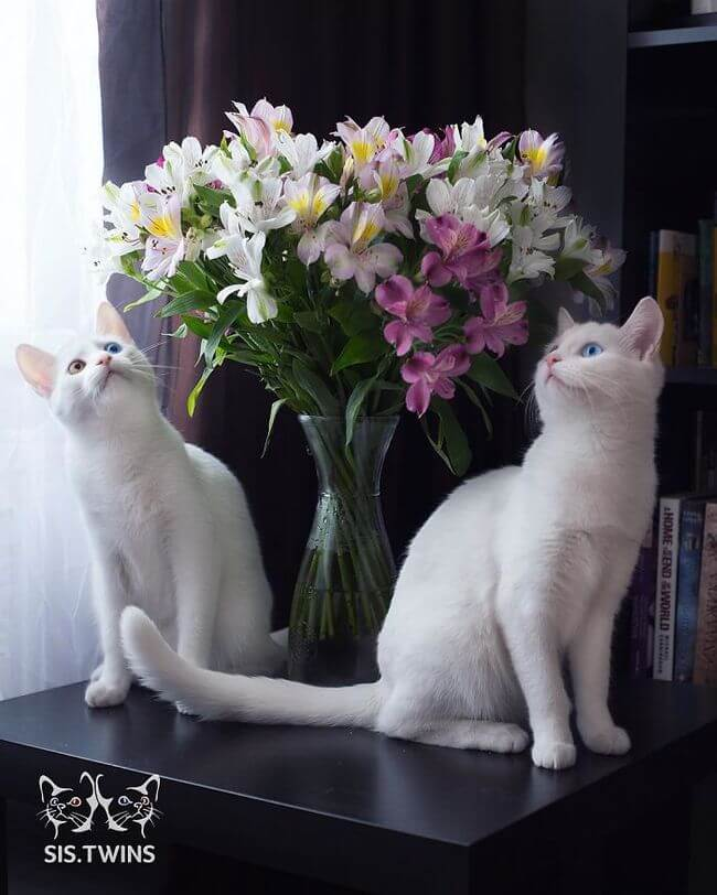 twin cats 11