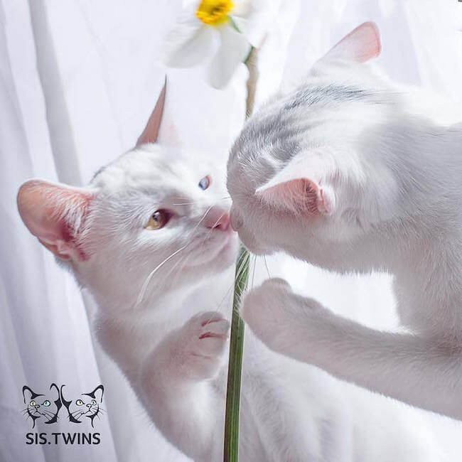 twin cats 8