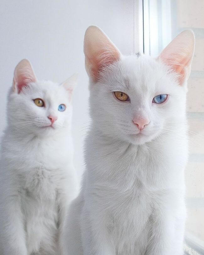 twin cats 6