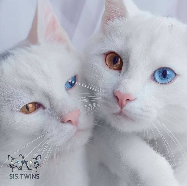twin cats 7