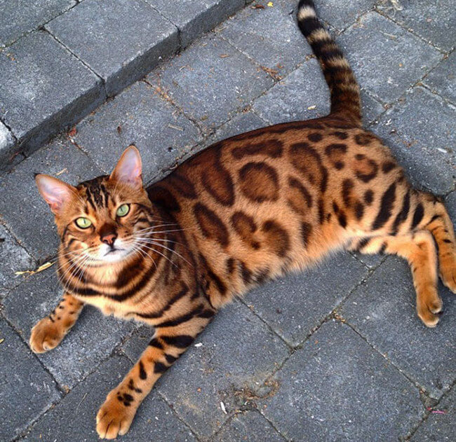 bengal house cat 6
