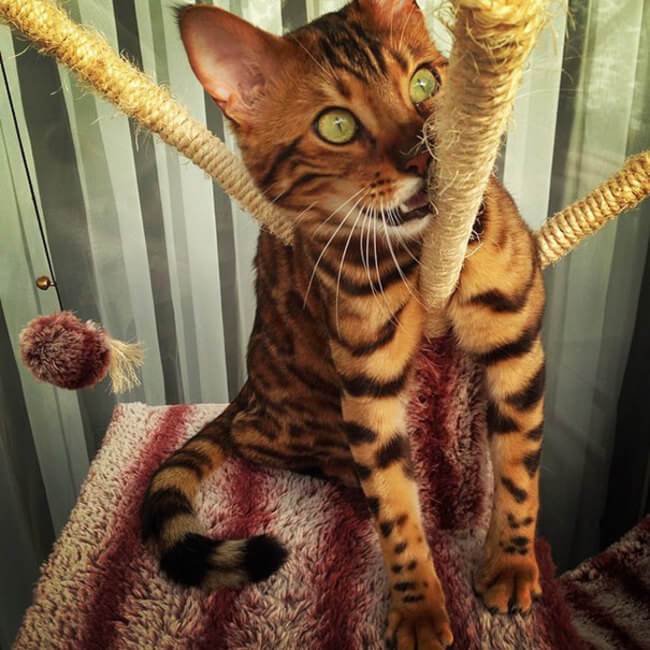 bengal house cat 7