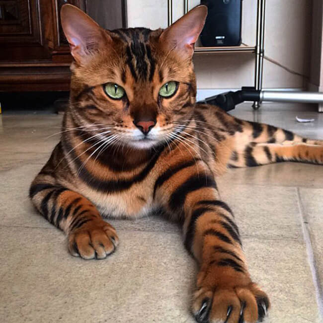 bengal house cat 1