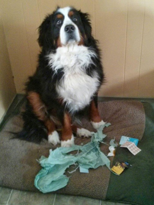 dogs being guilty 13 (1)