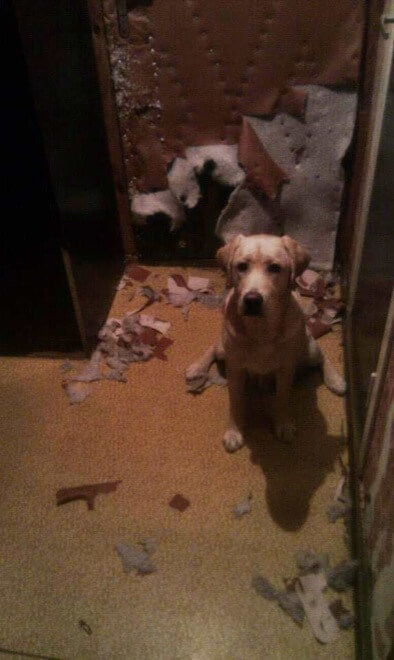guilty dog face 22 (1)