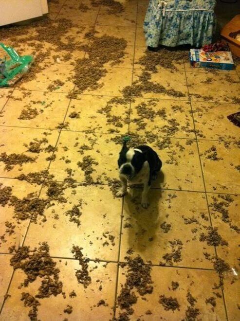 guilty dog face 27 (1)