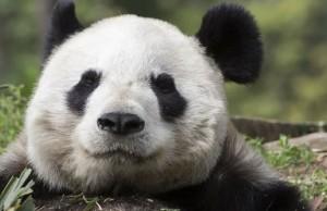 panda safe feat (1)