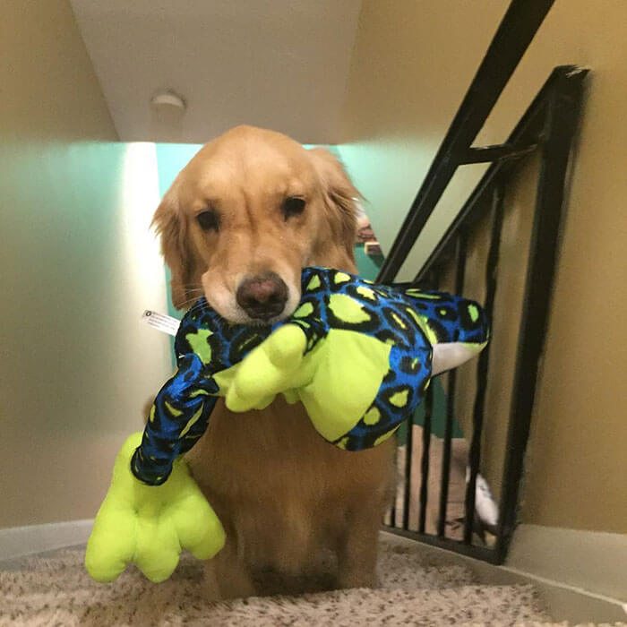 Therapy Dog brings different toy to bed each day 12 (1)