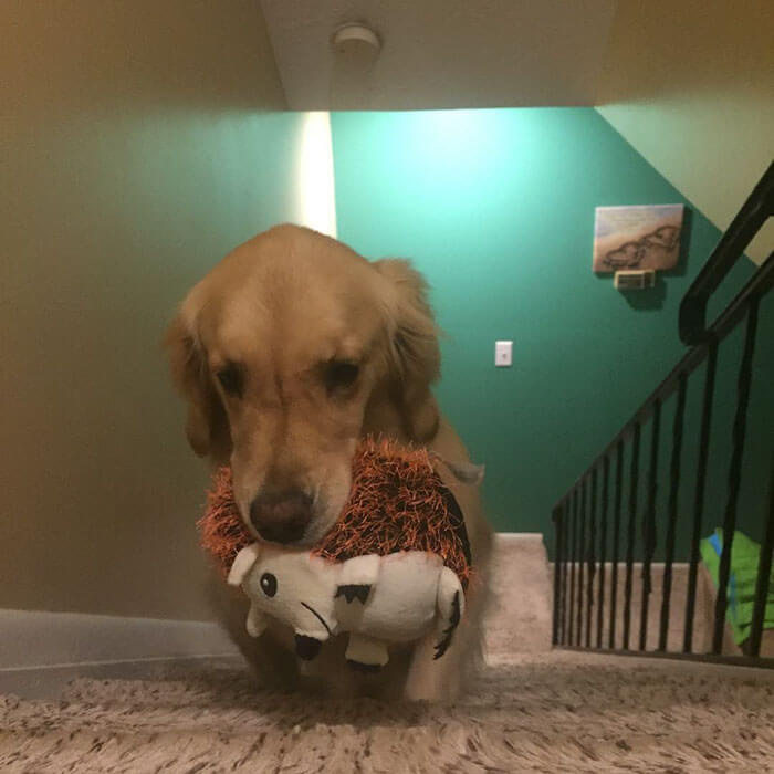 Therapy Dog brings different toy to bed each day 13 (1)