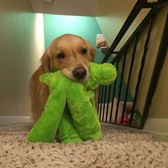 Therapy Dog brings different toy to bed each day 14 (1)