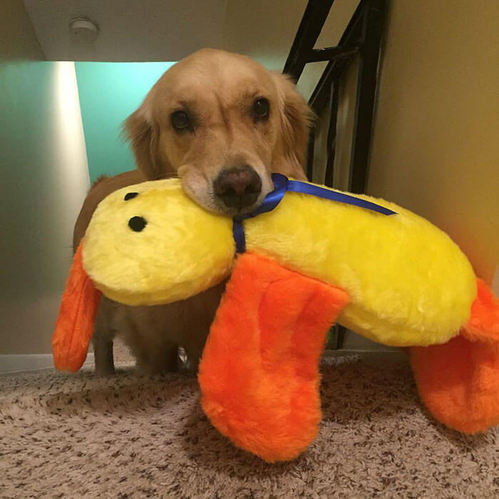 Therapy Dog brings different toy to bed each day 3 (1)