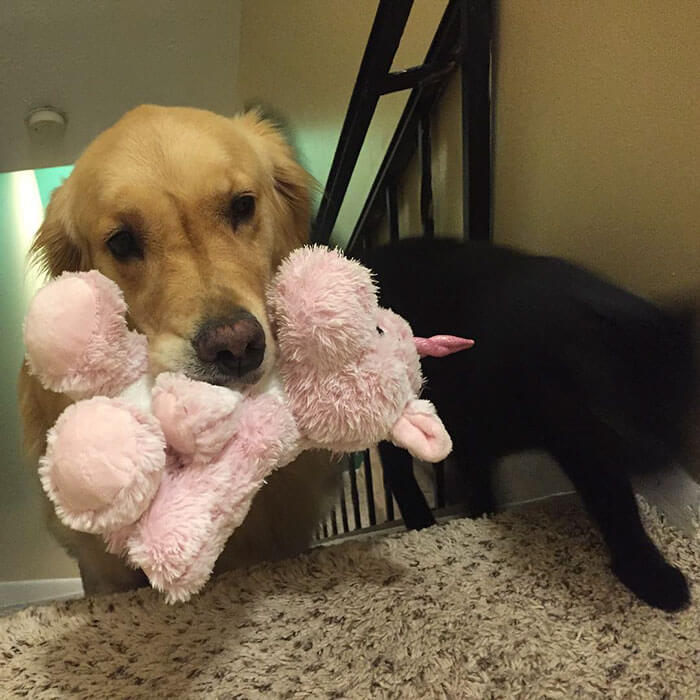 Therapy Dog brings different toy to bed each day 6 (1)